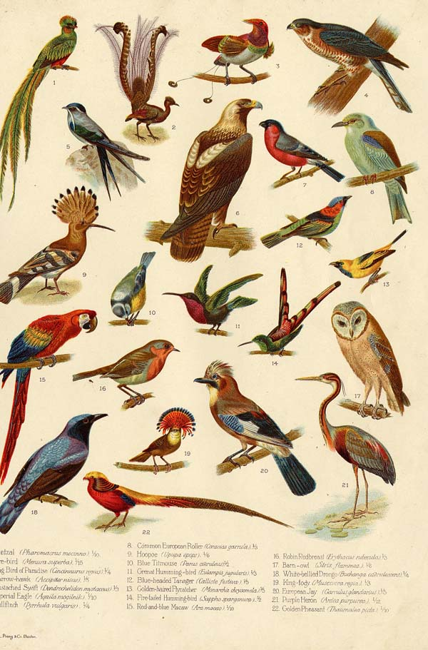 Types Of Birds An Antique Engraving By Funk Wagnalls