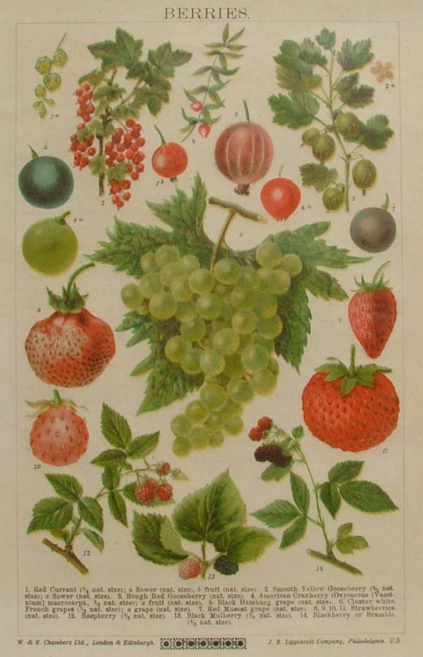 print Berries by Chambers and Lippincott