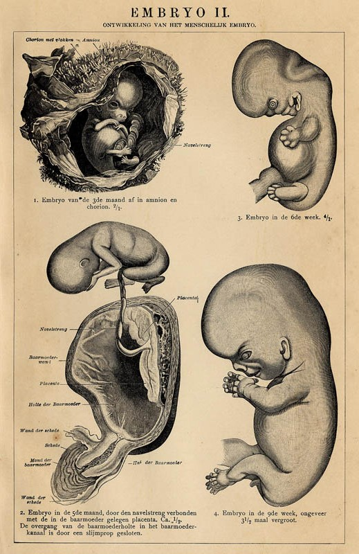 print Embryo II by Winkler Prins