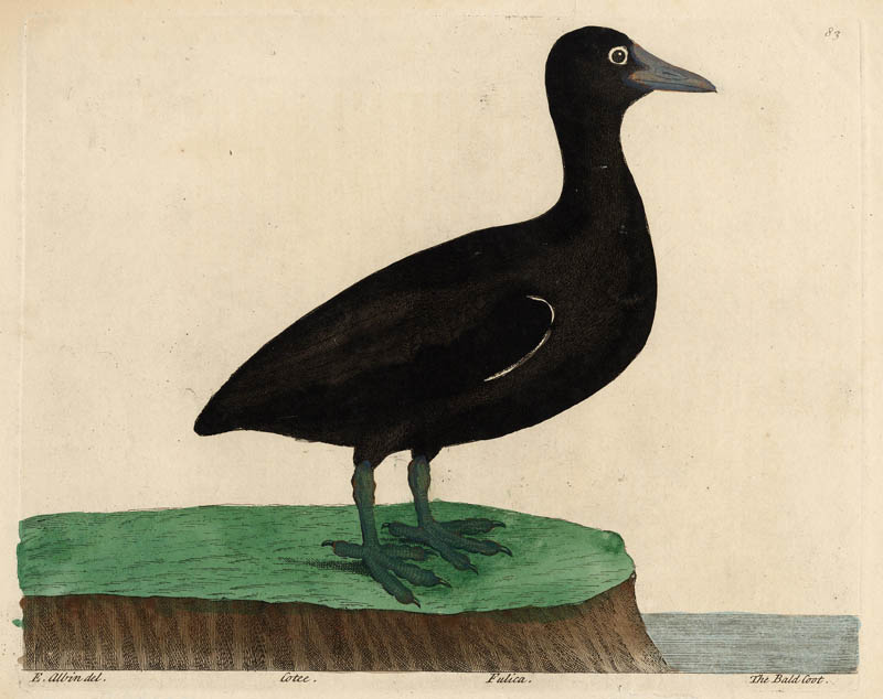 Cotee Fulica The Bald Coot by Eleazar & Elisabeth Albin