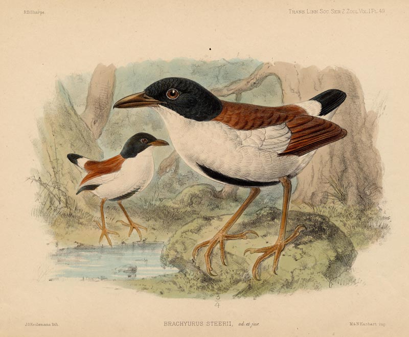 Brachyurus Steerii by J.G. Keulemans